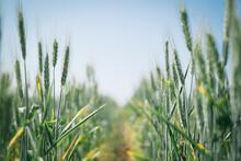 A Wheat Crop In Head In Spring...