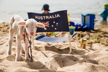 Pet Lamb On A Beach On Austral...