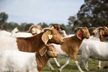 Boer Goats With Kids On Australian Farm