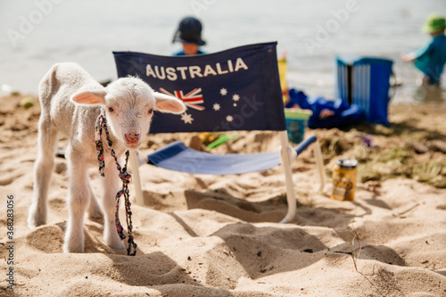 Fototapeta Pet lamb on a beach on australia day