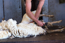Shearing Wool Off A Sheep