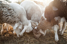 Close Up Of Sheep And Lambs Eating Hay On A Sunlit Morning