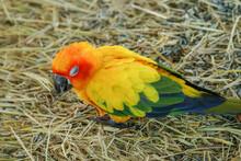 Sun Conure Parrot Bird On Gras...