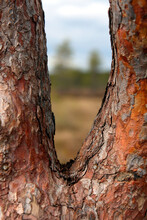 This Is A Pine Tree Growing In...