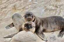 Baby Sea Lions Cuddling