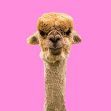 Funny Brown Alpaca On Pink Bac...
