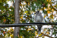 Young Blue Jay On Wire