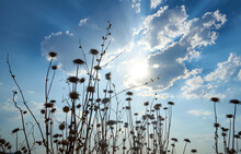 Dried Thistles On The Sky With...
