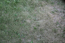 Untreated Green Lawn With Swollen Grass, Green Untended Lawn With Bald Spots.