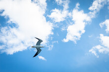 Seagull Flying. A Wild White S...