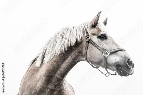 Cuadros en Lienzo portrait of a white horse