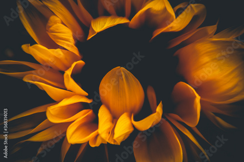 sunflower on black background Wallpaper Mural