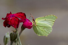 Common Brimstone Butterfly On ...