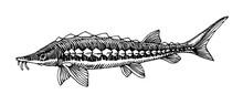 Freshwater Sturgeon, Rare Comm...