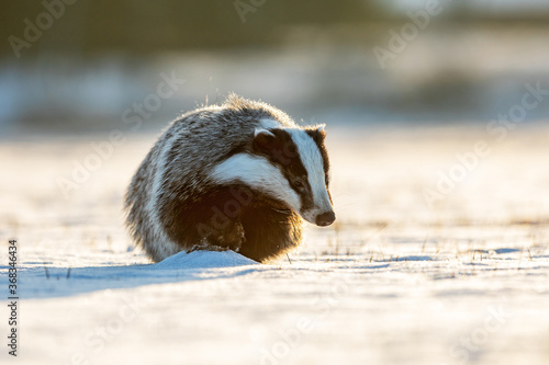 Fotografiet European badger (Meles meles) very quickly hurries through the snow to hide in t