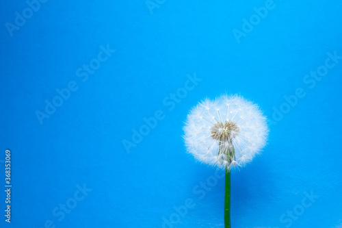 Fototapety, obrazy: dandelion flower on blue background