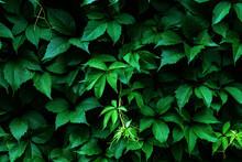 Virginia Creeper Dark Green Leaves Background, Parthenocissus Quinquefolia Foliage Texture