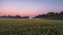 A Sunflower Field At Sunrise