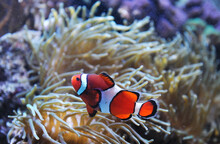 Close Up On Red Clownfish In The Coral Reef