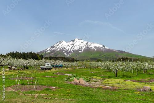 Tela 【青森県弘前市岩木山麓】残雪光る岩木山とりんごの花満開のりんご園