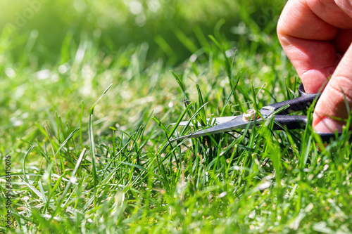 Fototapeta Close-up detail view of man hand cutting green grass on backyard garden with small nail scissors on bright summer sunny day
