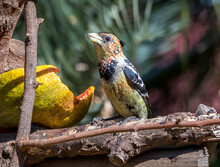 A Crested Barbet Eats Fruit In A Residential Garden On The Highveld Of Gauteng In South Africa