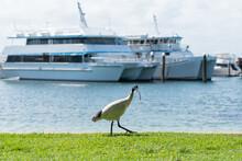 Australian White Ibis Walking At Port Stephens, Nelson Bay Harbour, Australia.