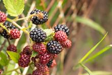 Blackberries Ripen In The Garden In Ukraine In The Summer In