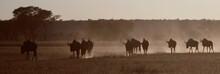 Blue Wildebeest's Walking Earl...
