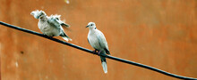 Tow Eurasian Collared Dove Sit...