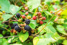 Natural Background With Ripening Wild Blackberries