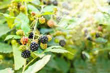 Sunlight Pouring Pver Ripening Wild Blackberries