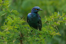 A Cape Glossy Starling Sitting In A Lush Green Acacia Bush, South Africa