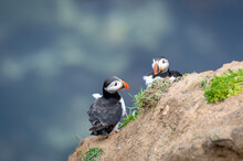 Puffins Perched On A Grassy Cliff At Bempton Cliffs, Bridlington, East Yorkshire