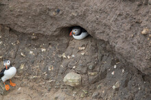 A Puffin Shelters In Its Hole, At Bempton Cliffs, Bridlington, East Yorkshire