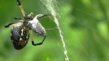 Large Spider Wrapping A Cricke...