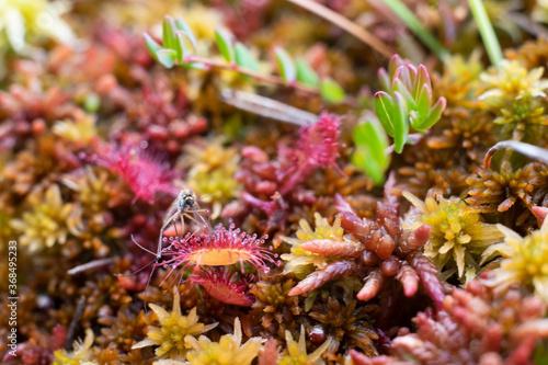 Round leaved sundew or Drosera on swamp Billede på lærred