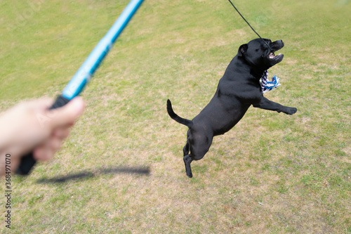 Staffordshire bull terrier dog jumping to catch the rope lure at the end of the elastic rope attached to a pole (flirt pole) which is held by his owner Canvas-taulu
