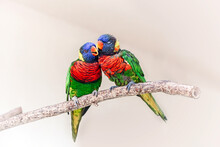 Group Couple Of Two Cute Colorful Little Lorikeet Parrots Kissing. Beautiful Wild Tropical Animals Birds Sitting On A Tree Branch. Beauty Of Wildlife Nature.