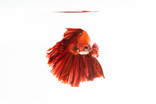 Beautiful Red Fighting Fish On...