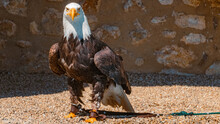 Beautiful Bald Eagle Standing On Pebbles Looking Into The Camera