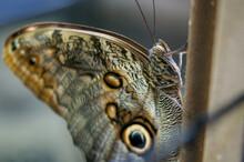 Owl Butterfly (Caligo Euriloch...