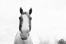 Portrait Of A Paint Horse Clos...