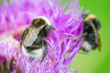 Two Bees Sat On A Purple Flowe...