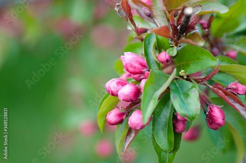 Fototapeta Rajskie jabłko obraz