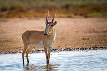 Saiga Antelope Or Saiga Tatarica In Steppe