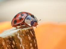 Closeup Of A Ladybug Perched O...