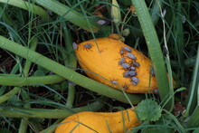 A Yellow Summer Squash Plant Infested With Squash Bugs In A Garden