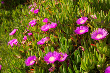 Ice Plant With Flowers On The California Coast Near Mendocino.  (Carpobrotus Edulis) Iceplant Is A Coastal Succulent Shrub And Was Introduced To California In The Early 1900s