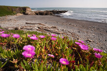 Ice Plant With Flowers On The ...
